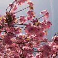 Endlich Kirschblütenzeit! – unsere japanische Teatime in München